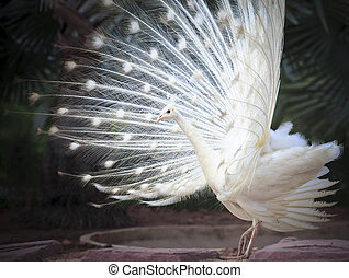 white male indian peacock with beautiful fan tail plumage...