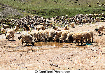 Flock of mountain goats drinking water at atlas mountain in...