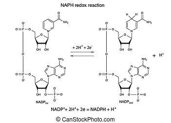 Illustration of NADP redox reaction with chemical formulas,...