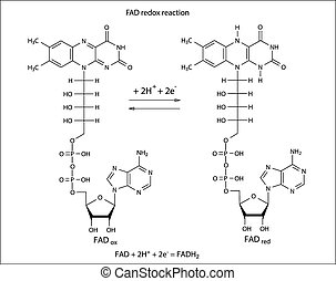 Illustration of FAD redox reaction with chemical formulas,...