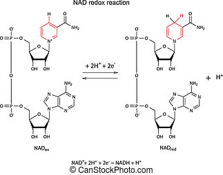 Illustration of NAD redox reaction with chemical formulas...