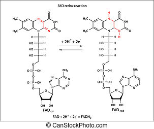 Illustration of FAD redox reaction with chemical formulas...