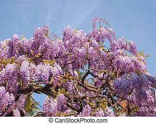 Wisteria - Violet Wisteria aka Wistaria or Wysteria flowers