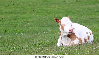 calf lying on green grass