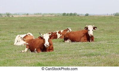 cows lying on pasture