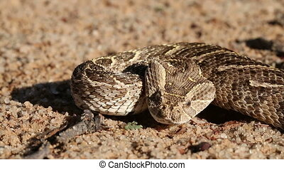 Defensive puff adder - Portrait of defensive puff adder...