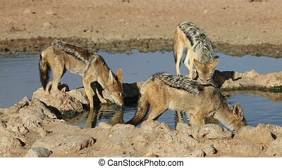 Black-backed Jackals (Canis mesomelas) drinking water,...