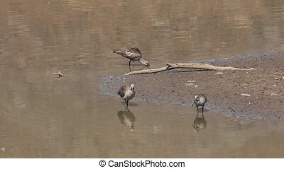Hadeda Ibis - A group of Hadeda Ibis Bostrychia hagedash...