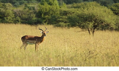 Male impala antelope Aepyceros melampus in natural habitat,...