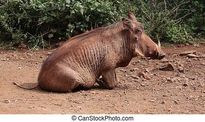 Relaxing warthog