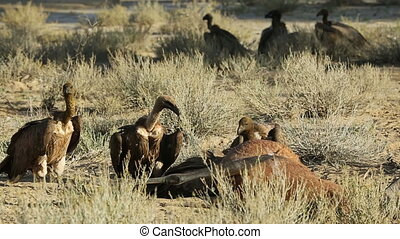 Scavenging white-backed vultures - White-backed vultures...