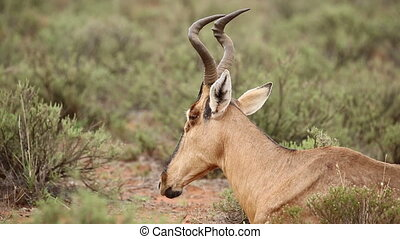 Ruminating red hartebeest - Portrait of ruminating red...