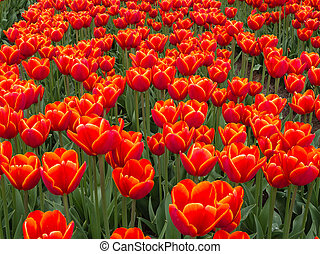 Field of fiery red and orange colored tulips - Close view on...