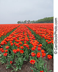 Field of fiery red and orange colored tulips - View on field...