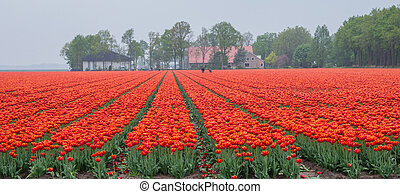 Field of fiery red and orange colored tulips - Wide view on...
