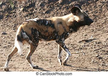 Genus Lycaon , wild african dog ,