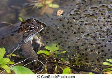 Frog Spawn - Toad and its spawn in the water