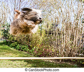 Flying Tibetan Terrier Dog - Funny tibetan terrier dog...