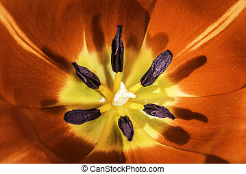 Flower tulip stamens. Slose up macro