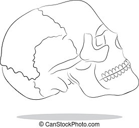 cranium - Vector sketch illustration of isolated human scull...