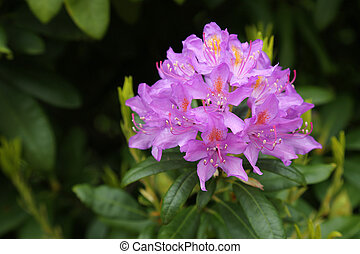 flowering rhododendron against foliage