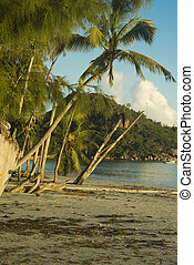 Palms and old trees on Cote D\'Or beach Praslin Seychelles...