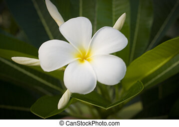 A beautiful white flower on Seychelles