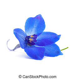 delphinium - vibrant blue delphinium flower isolated on...