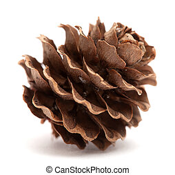 japanese larch cone isolated on white