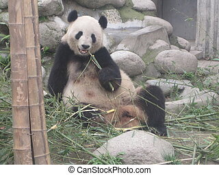 Giant Panda Research Base in China - Giant Panda Research...
