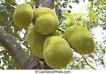 Jack fruit tree in south india. The jackfruit is a species...