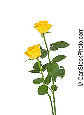 yellow roses - Two yellow roses, isolated