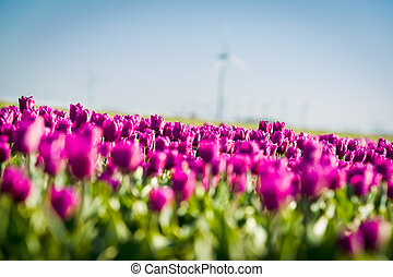 Tulips an fields in spring in the Netherlands - Tulips an...