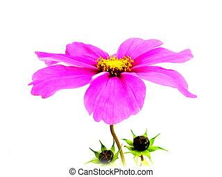 cosmea - a pink cosmea with buds