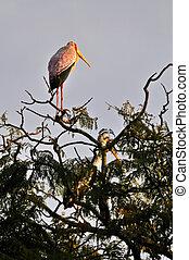 Yellow billed storks - yellow billed storks in a tree near...