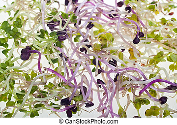 sprouts - salad sprouts on a white plate