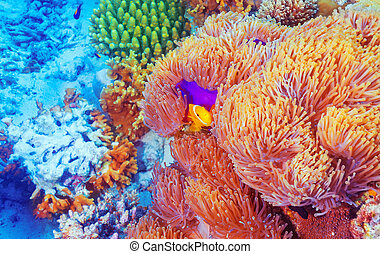 Clown fish near colorful corals - Clown fish swimming near...