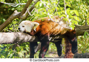Red Panda - A beautiful red panda lying on a tree branch...