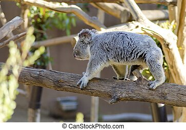Koala - A profile view of a cute adorable adult koala bear...