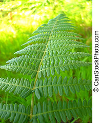 Bipinnate leaf - bipinnate leaf over a green background,...