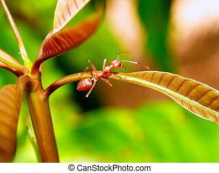 red ant teamwork in green nature