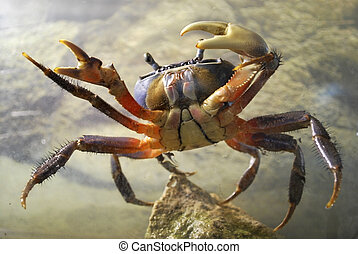 crab in aquarium
