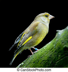 greenfinch (lat. carduelis chloris) standing on a branch