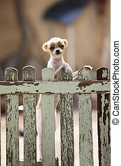 pomeranian puppy dog climbing old wood fence