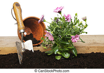 Planting an osteopermum plant into soil against a white...