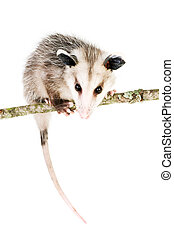 Common Opossum - Young opossum balanced on branch on white...