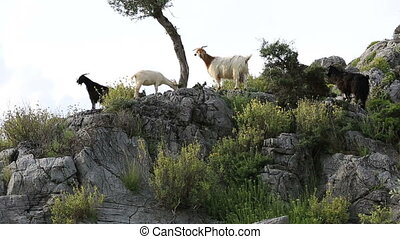 mountain goat in nature - mountain goat flock feeding in...