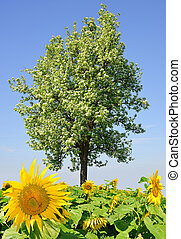 spring landscape - Sunflower field with tree