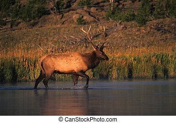 Bull Elk Crossing River - a bull elk is walking across a...