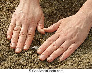 semear, alho